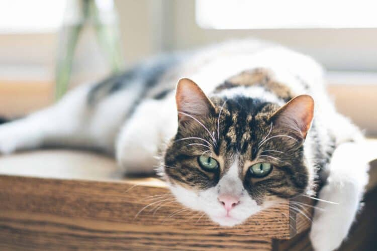 Gammal katt vilar