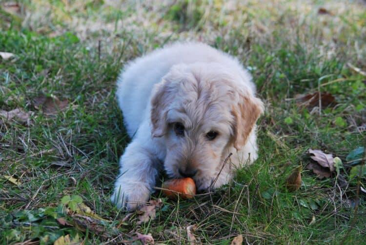 Hund äter morot