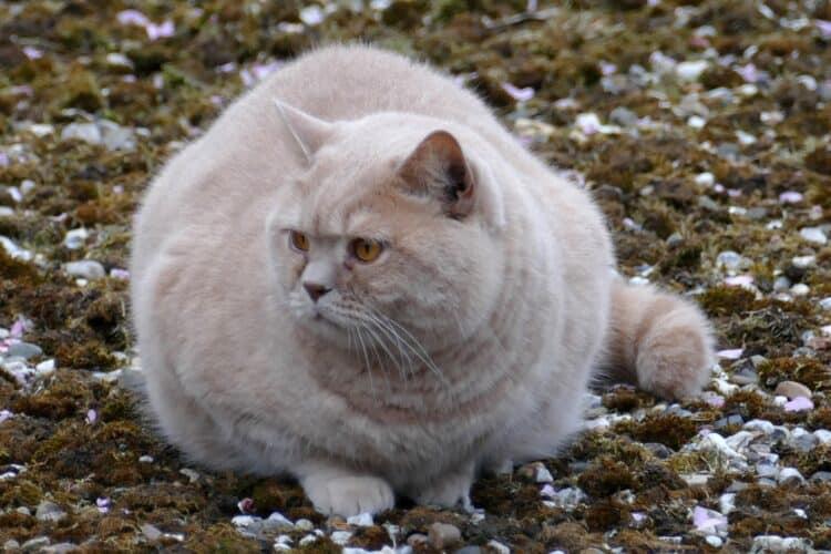 Överviktig katt